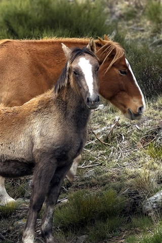 iPhone Wallpaper Brown horses, mother and cub