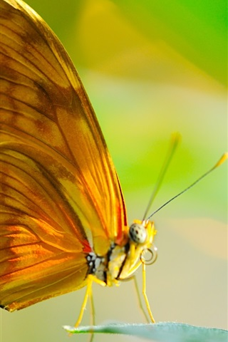 iPhone Wallpaper Butterfly, insect, wings