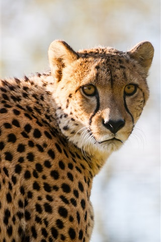 iPhone Wallpaper Cheetah spotted, predator look back