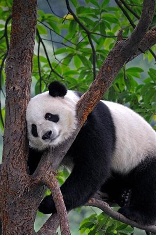 iPhone Papéis de Parede China, Sichuan, panda, árvore, folhas