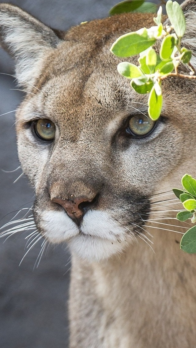 Cougar Mountain Lion Wild Cat Face Twigs 640x1136 Iphone 5 5s