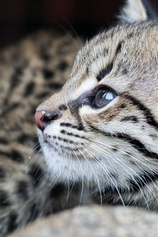 iPhone Wallpaper Cute pet, gray kitten