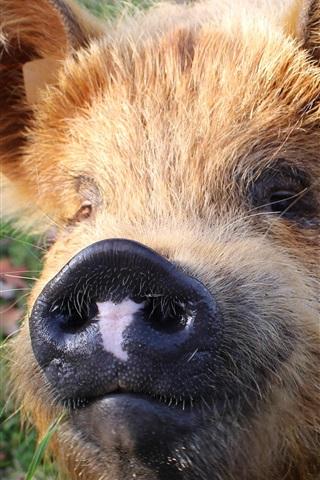 iPhone Wallpaper Furry animals, pig, nose