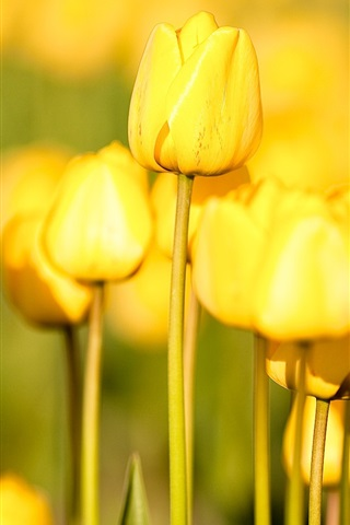 iPhone Wallpaper Garden flowers, yellow tulips