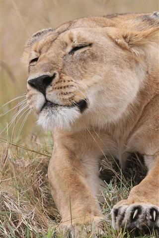 iPhone Wallpaper Grass, lioness rest, claws