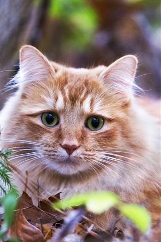 iPhone Wallpaper Green eyes orange cat, stay, leaves