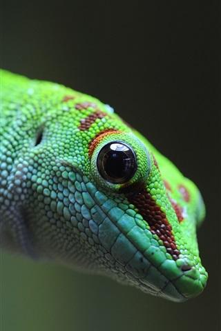 iPhone Wallpaper Green lizard, gecko, animal photography