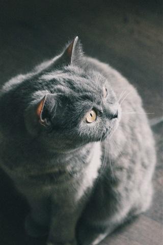 iPhone Papéis de Parede Gato cinzento sentado no chão para olhar para trás
