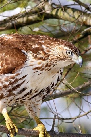 iPhone Wallpaper Hawk, buzzard, forest, bird close-up