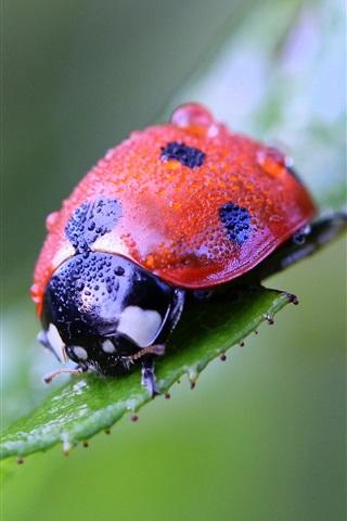 iPhone Wallpaper Ladybug macro photography, insect, green background
