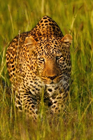 iPhone Wallpaper Leopard in the grass find you