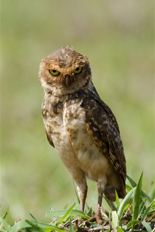 iPhone Wallpaper Little owl standing on ground