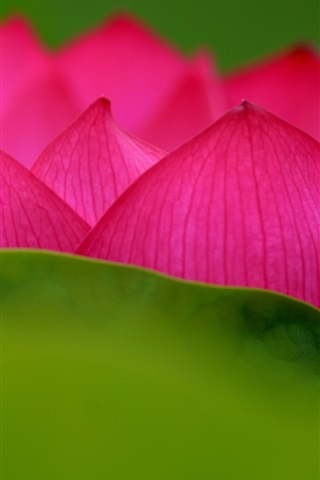 iPhone Wallpaper Lotus, pink petals, flower close-up, green leaf