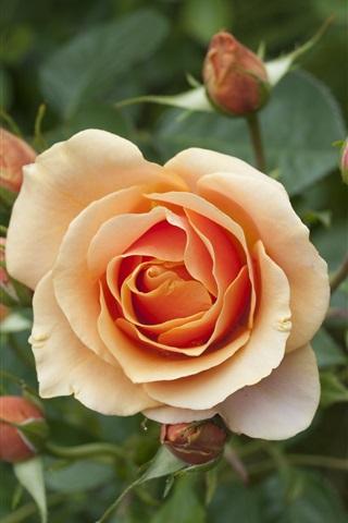 iPhone Wallpaper Orange petals roses flower close-up