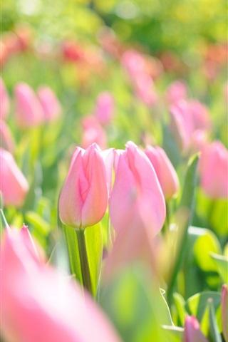 iPhone Wallpaper Pink flowers field, tulips, spring