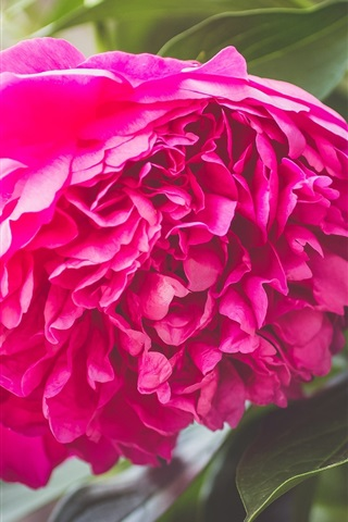 iPhone Wallpaper Pink peony, petals, flower close-up