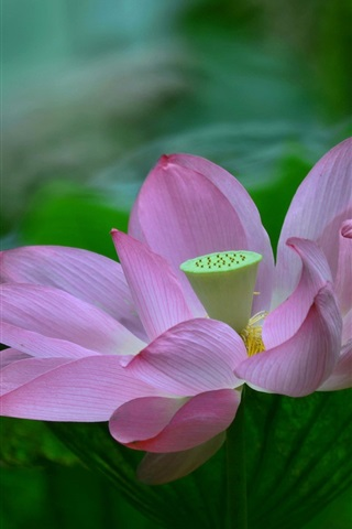 iPhone Wallpaper Pink petals, lotus, green leaves