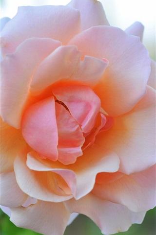 iPhone Wallpaper Pink rose flower macro photography, glare