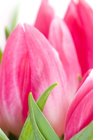 iPhone Wallpaper Pink tulips flowers close-up, white background