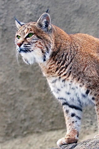 iPhone Wallpaper Predator, lynx, stones