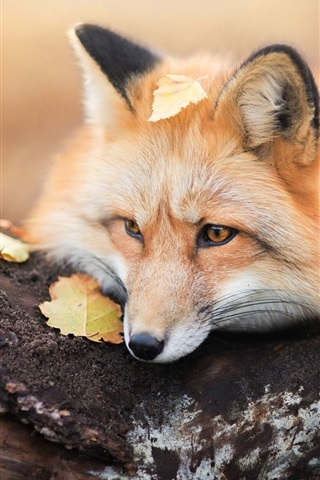 iPhone Wallpaper Red fox rest