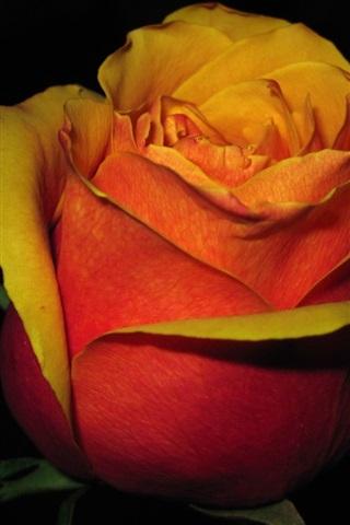 iPhone Wallpaper Red orange petals rose flower in the darkness