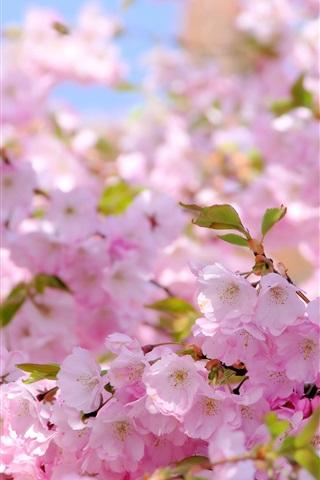 iPhone Wallpaper Sakura, pink flowers, spring, flowering