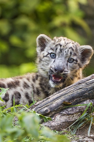 iPhone Wallpaper Snow leopard cub yawn