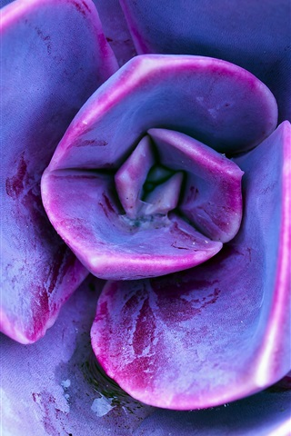 iPhone Wallpaper Succulent plants, purple petals