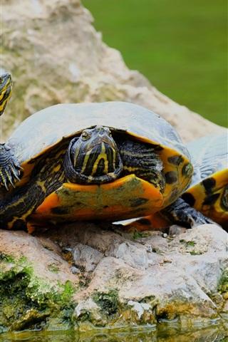 iPhone Papéis de Parede Três tartarugas, pedra, água
