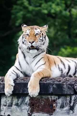 iPhone Wallpaper Tiger rest, predator, paws
