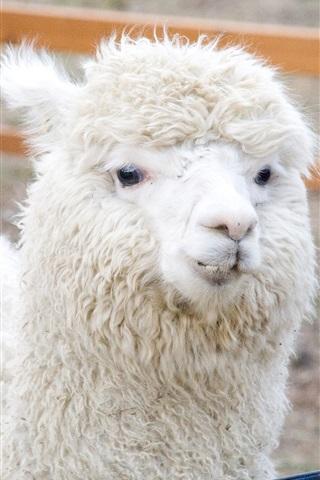 iPhone Wallpaper White alpaca rest