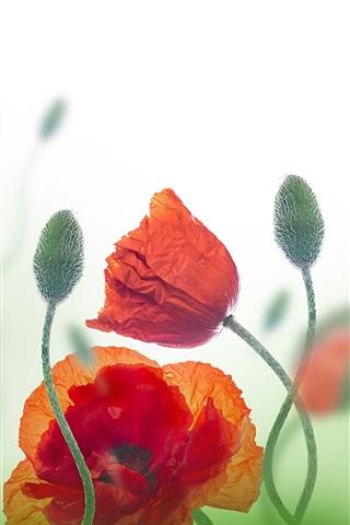 iPhone Wallpaper Wildflowers, poppy, red flowers