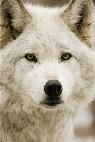 iPhone Wallpaper Wolf, forest, predator