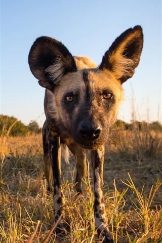 iPhone Wallpaper African wild dog