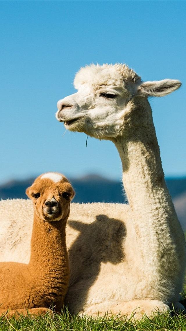 Alpaca Mother And Cub 640x1136 Iphone 55s5cse Wallpaper