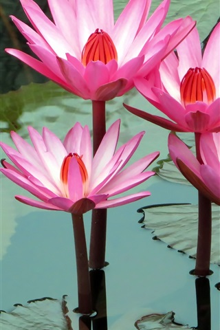 iPhone Wallpaper Beautiful pink water lilies, pond