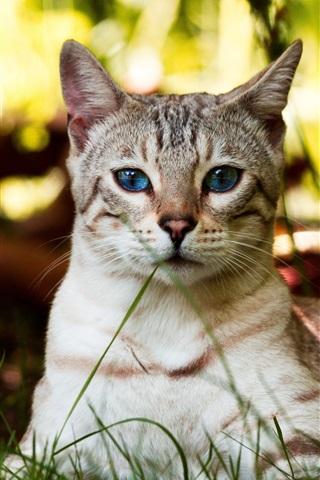 iPhone Papéis de Parede Gato dos olhos azuis, descanso, grama