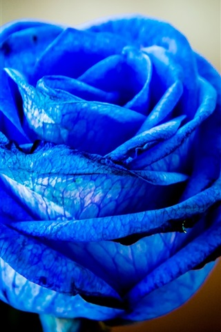 iPhone Wallpaper Blue petals rose flowers