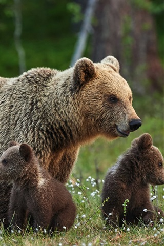iPhone Wallpaper Brown bears family, mother and cubs