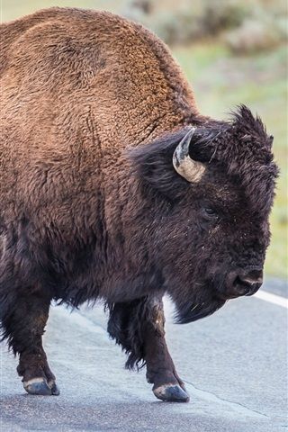 iPhone Wallpaper Buffalo in the road, horns