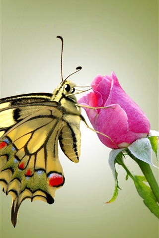 iPhone Wallpaper Butterfly and pink rose