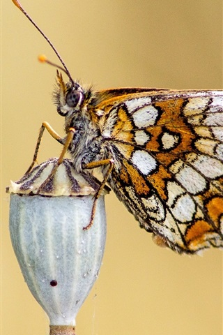 iPhone Wallpaper Butterfly, wings, antennae, insect