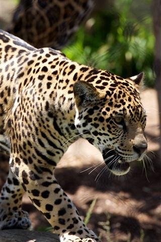 iPhone Wallpaper Cheetah, predator, zoo