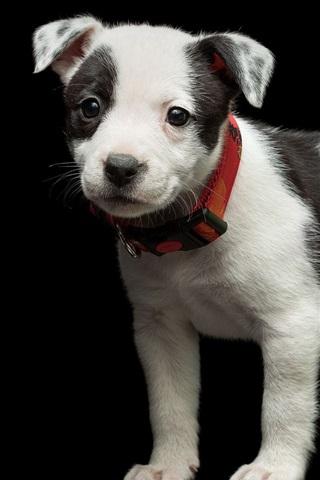 iPhone Обои Милый щенок, черный белый