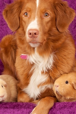 iPhone Wallpaper Dog and guinea pigs