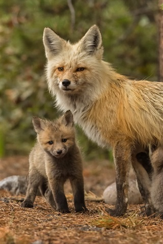 iPhone Wallpaper Fox family, mother and cubs