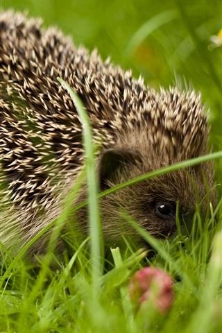 iPhone Wallpaper Hedgehog close-up, grass