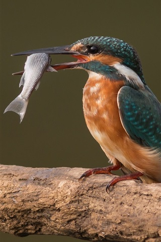 iPhone Wallpaper Kingfisher catch a fish, birds photography