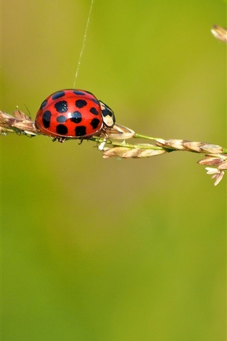 iPhone Wallpaper Ladybug, insect, grass